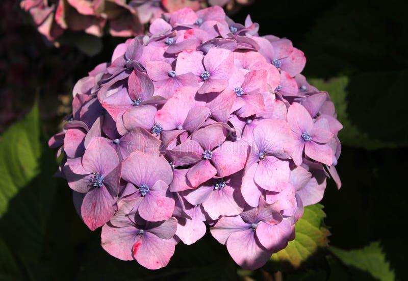 Purple hydrangea stock photography