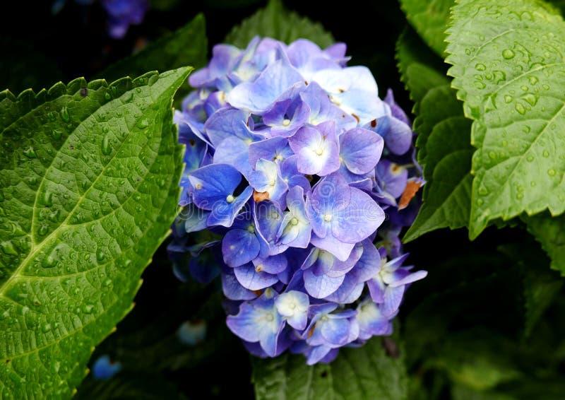 Purple Hydrangea flower royalty free stock image