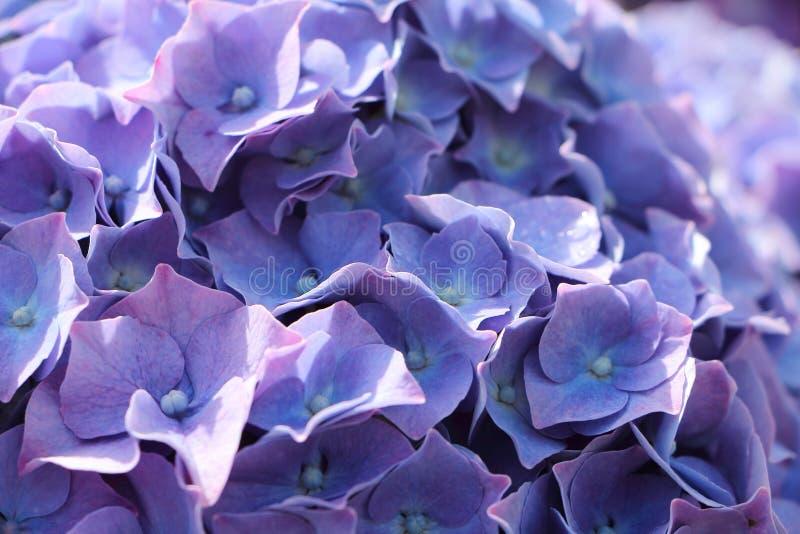 Purple hydrangea flower in a garden. Close-up of purple hydrangea flower in a garden stock photography