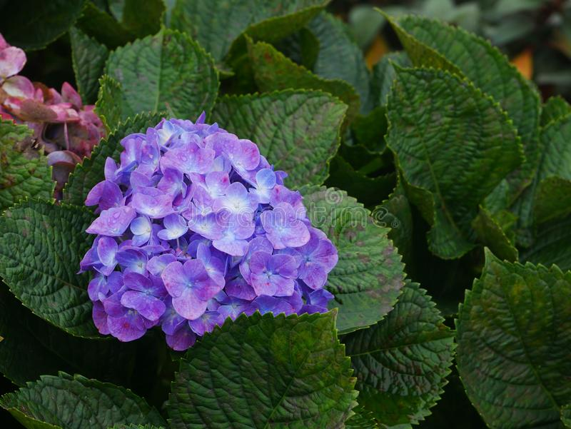 Purple hydrangea after raining with water drops stock photos