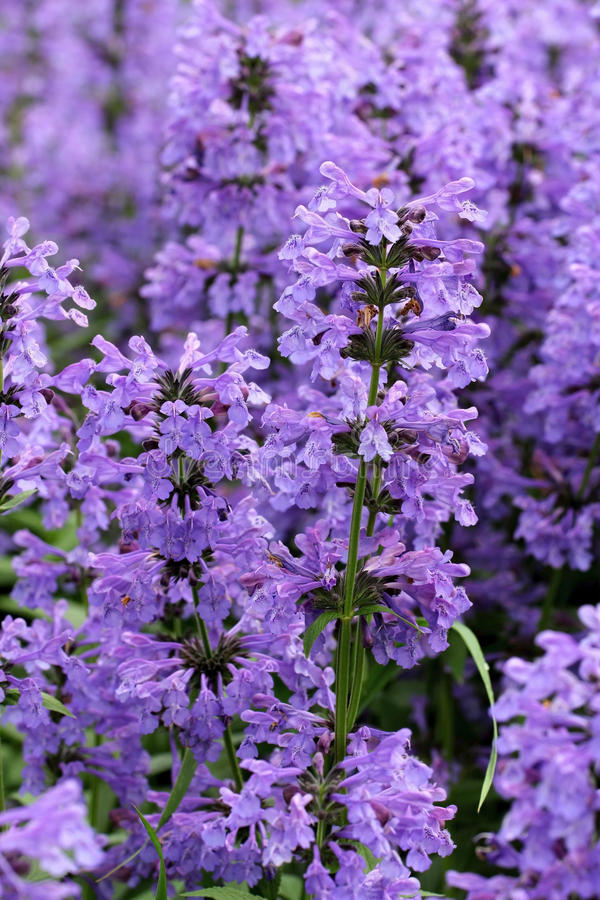Purple Hyssop Flowers (Hyssopus officinalis) royalty free stock images
