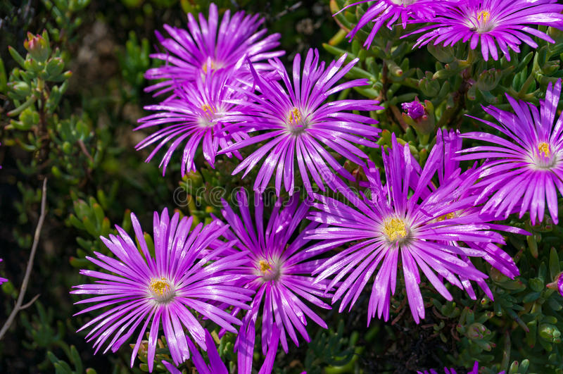 Purple iceplant flower. Or Hardy Ice Plant bright purple flowers on flowerbed in the garden stock image