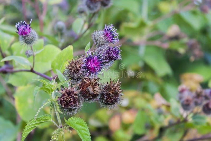 Purple inflorescences of burdock royalty free stock photos
