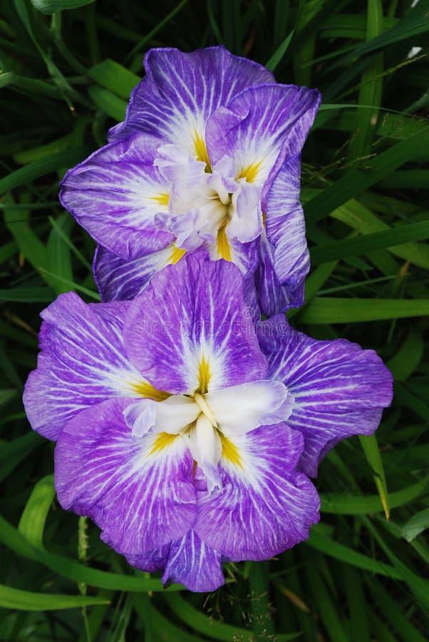 Purple Iris. Two Japanese Iris in full bloom stock photography