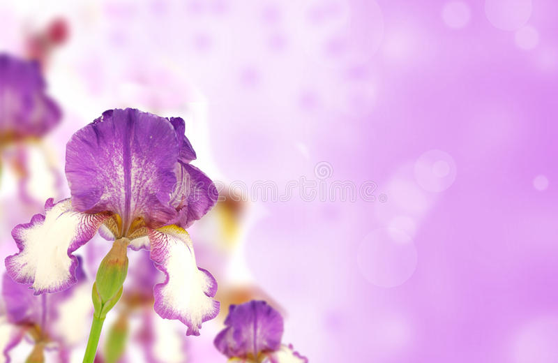 Purple iris. Colored purple iris blossoms on shiny blur background royalty free stock photography