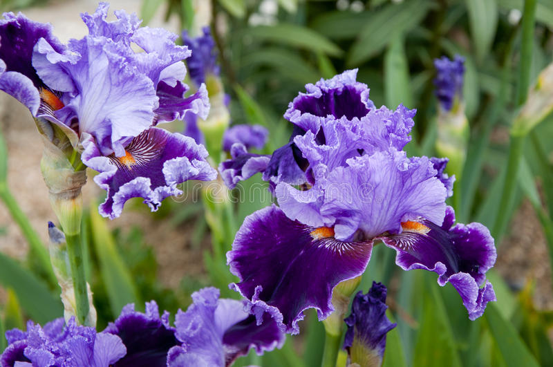 Purple iris. In the garden stock photography