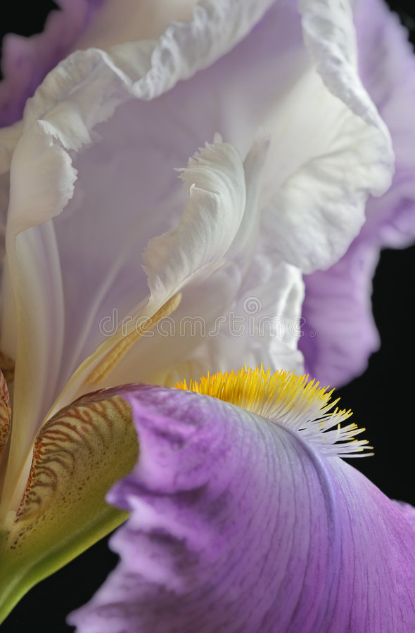 Purple Iris. Close-up of an iris blossom showing its details and texture stock photography