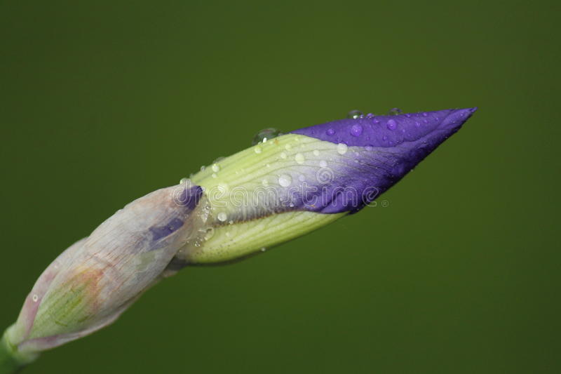 Purple Iris Buds. A purple iris bud, ready to bloom stock photo