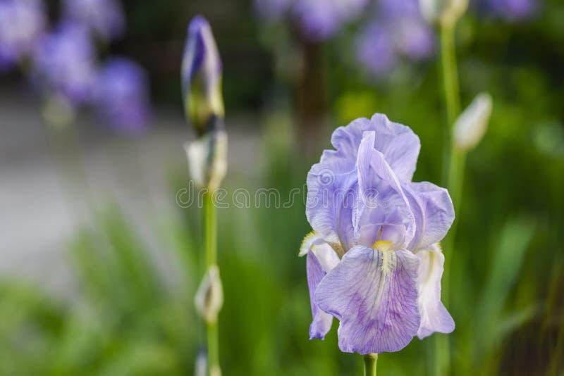 Purple iris closeup stock image