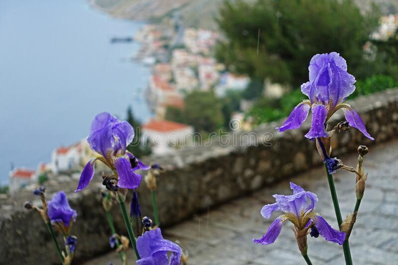 Purple iris with coastline in background royalty free stock photography