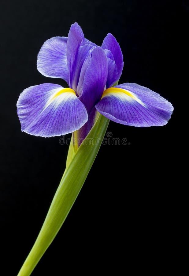 Purple iris flower on black background stock image