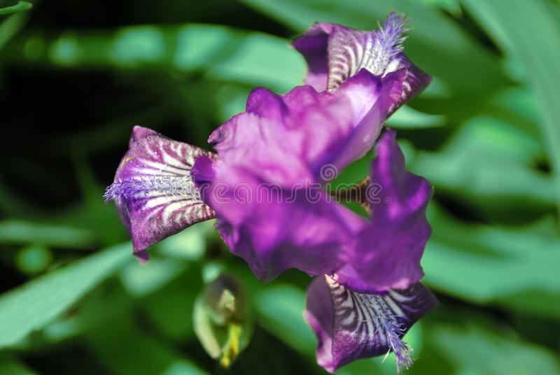 Purple iris flower blooming, blurry green leaves background top view close up. Detail stock photo