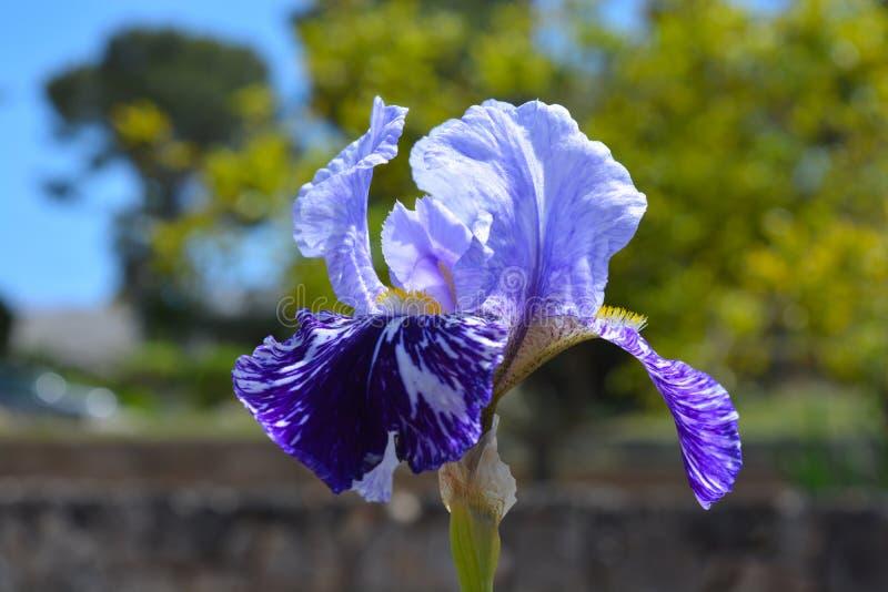 Purple iris flower, close up royalty free stock photo