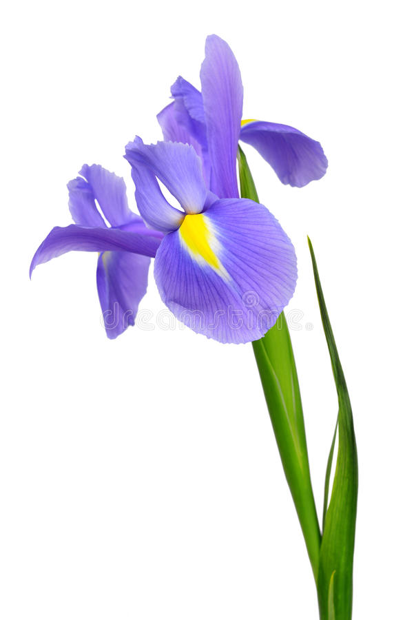 Purple iris flower. Isolated on white background royalty free stock photos