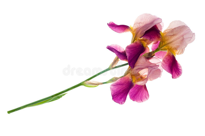 Purple iris flower. Isolated on white background royalty free stock photography