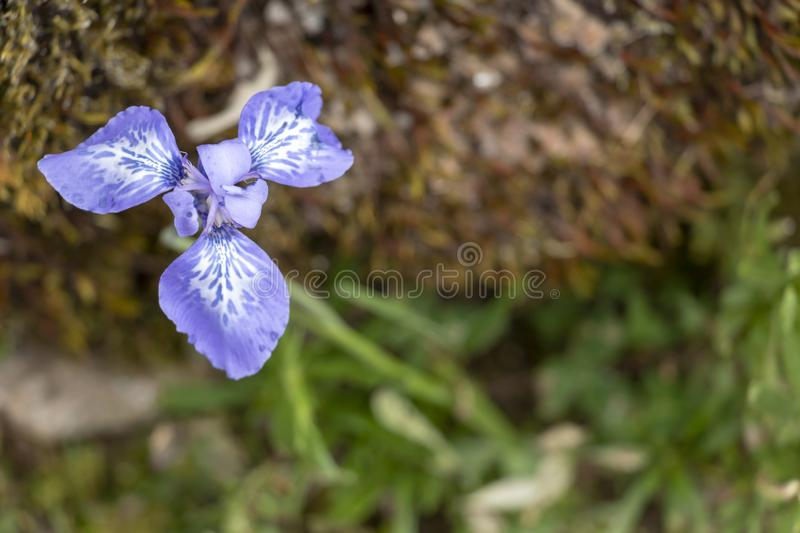 Purple iris flower plant on the blurred ground background with copy space stock photo