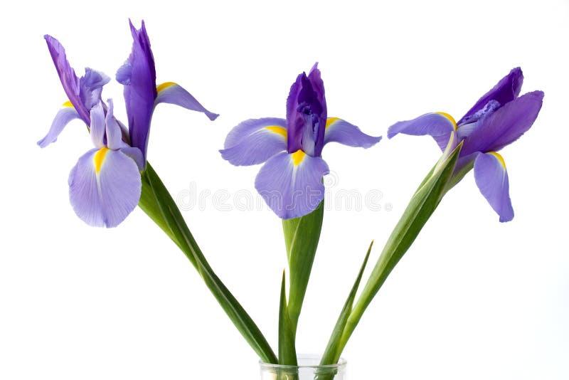 Purple Iris Flowers royalty free stock image