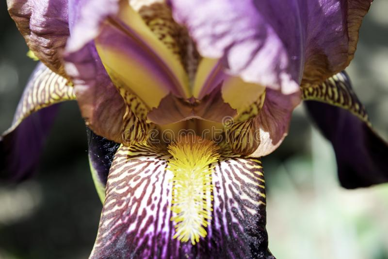 Purple iris flowers blooming in a garden in spring close-up stock photography
