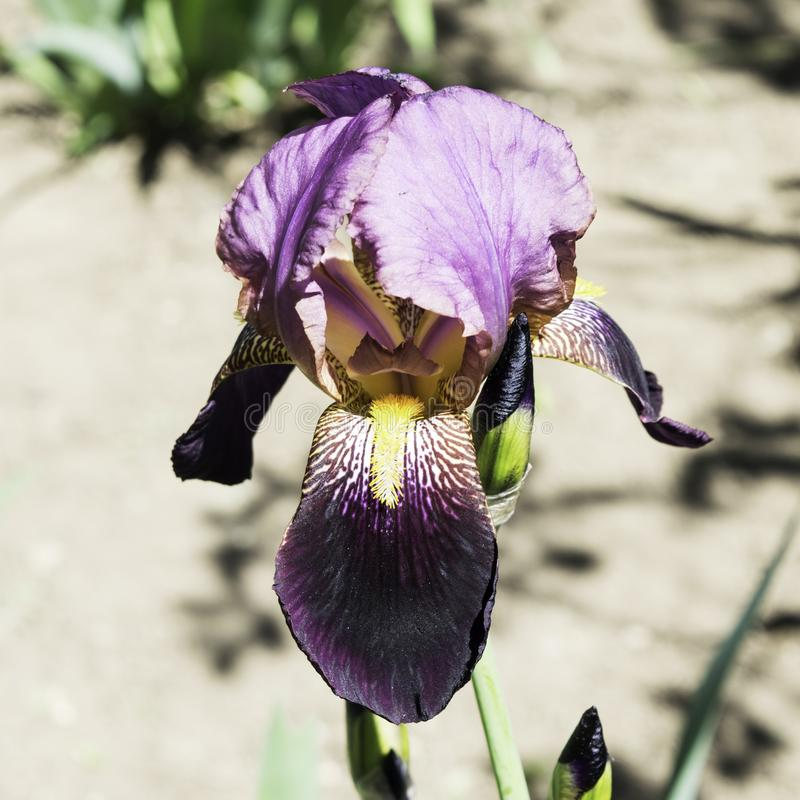 Purple iris flowers blooming in a garden in spring royalty free stock photo
