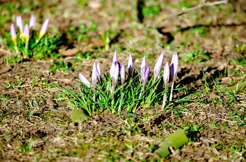 Purple iris flowers in the sun close up stock photo