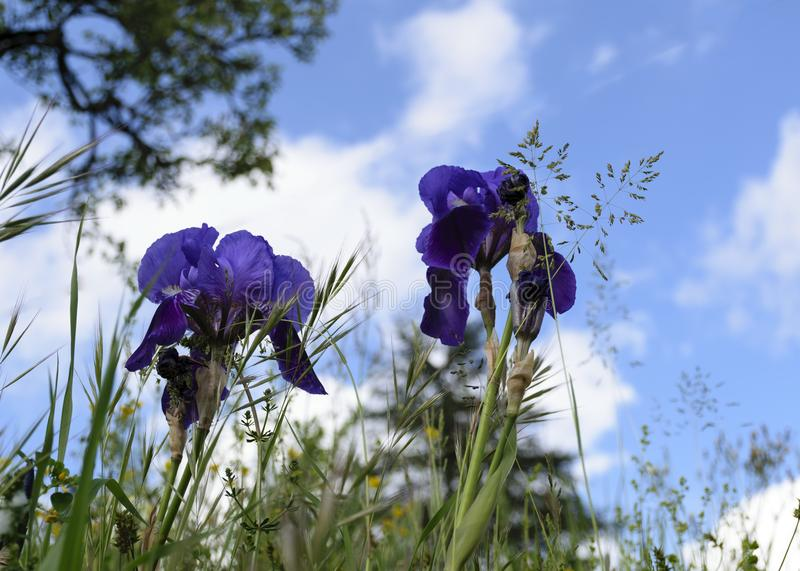 Purple Iris`s. Against bright blue cloudy sky. looking from below royalty free stock photo
