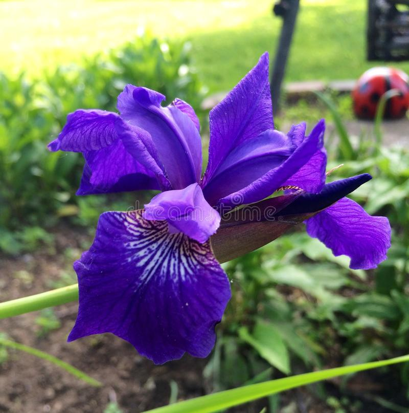 Purple Iris in Spring royalty free stock photography