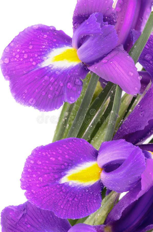 Purple Iris. Two Beautiful Purple Dutch Iris with Water Droplets close upon white background stock photography