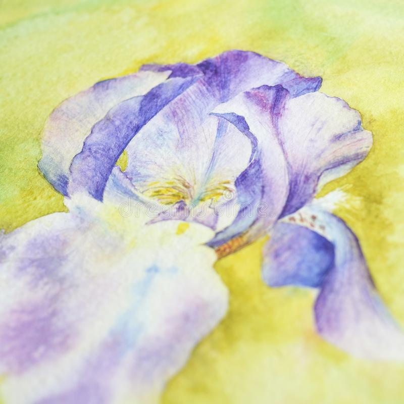 Iris with watercolor, process, close-up. Purple iris on a yellow background. Drawing in watercolor, the process. Close-up stock illustration