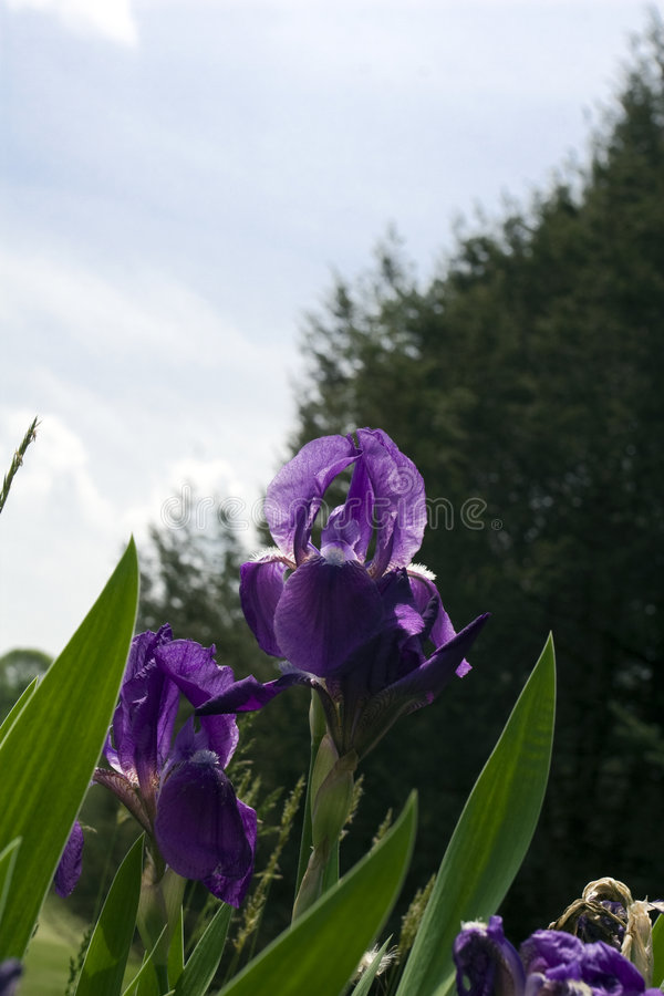 Download Purple Irises stock image. Image of blue, garden, outside - 5493841