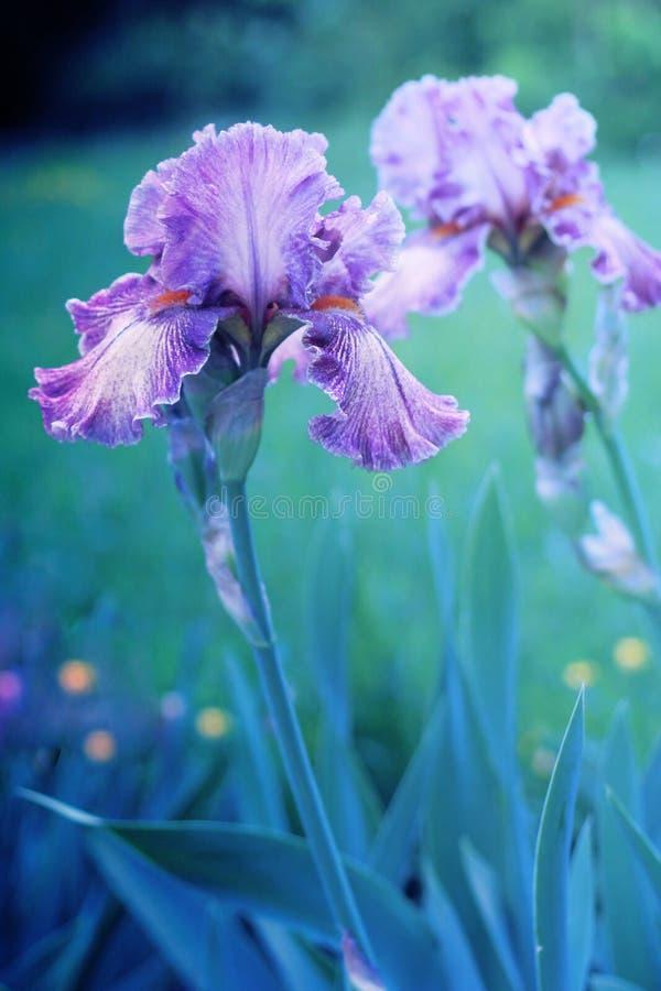 Purple irises. In botanical garden stock photo