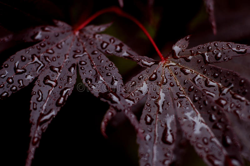 Purple Japanese Maple tree leaves with water drops stock photography