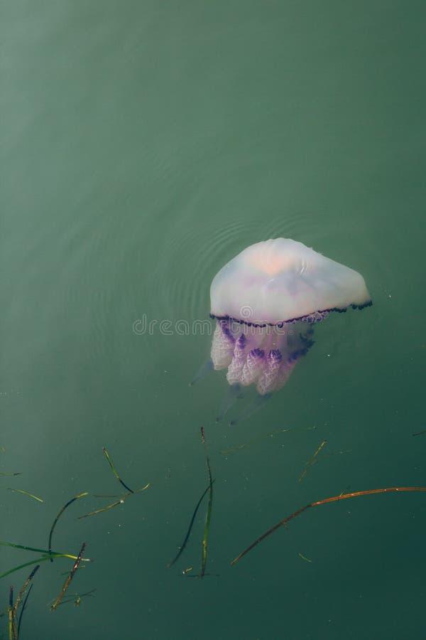 Purple jellyfish floating in green water. Purple jellyfish floating in green water stock image