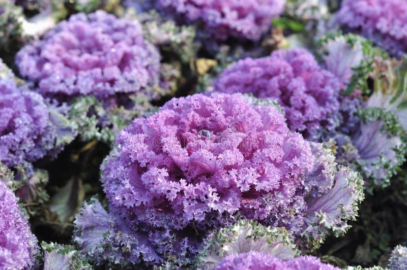 Download Purple kale stock image. Image of green, fresh, landscape - 29531817