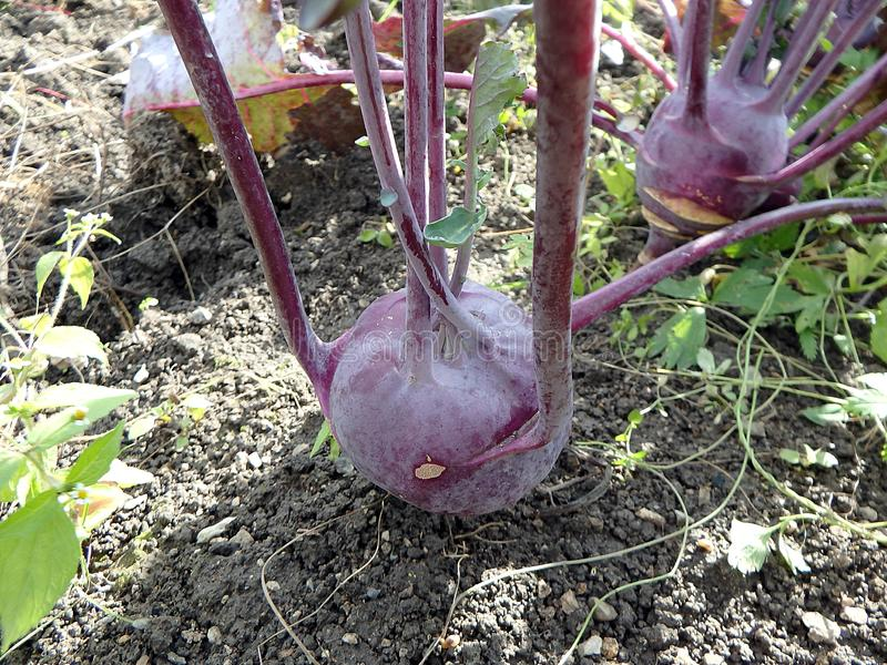 Purple Kohlrabi German turnip or turnip cabbage in garden bed in vegetable field stock image