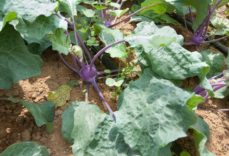 Purple kohlrabi growing stock photo