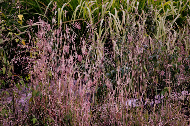 Purple Lalang grass royalty free stock photos