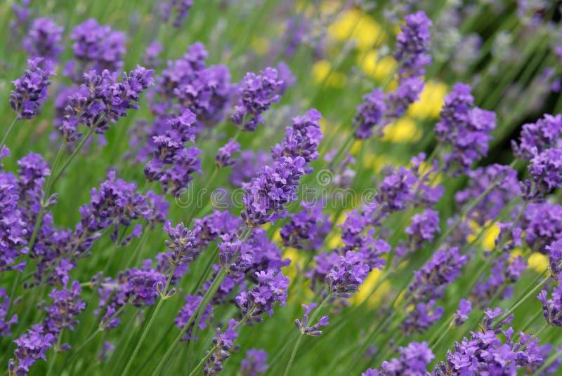 Purple Lavender Stock Photos
