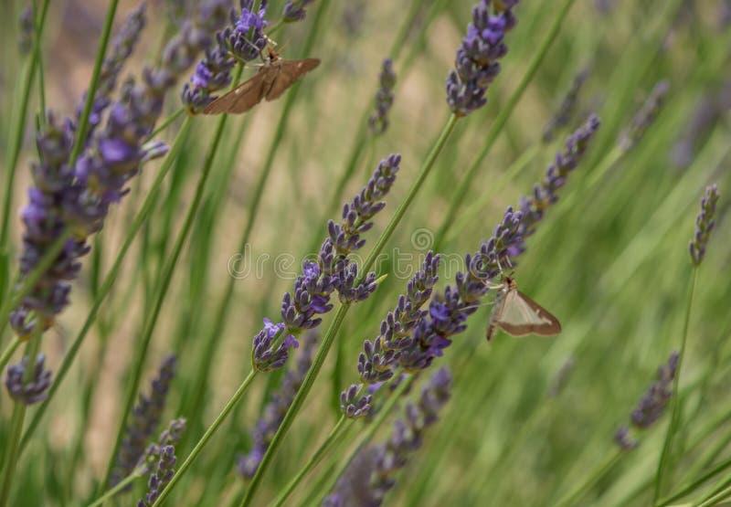 Purple lavender blooms in Provence. Taken in France. Purple lavender blooms in Provence stock photography