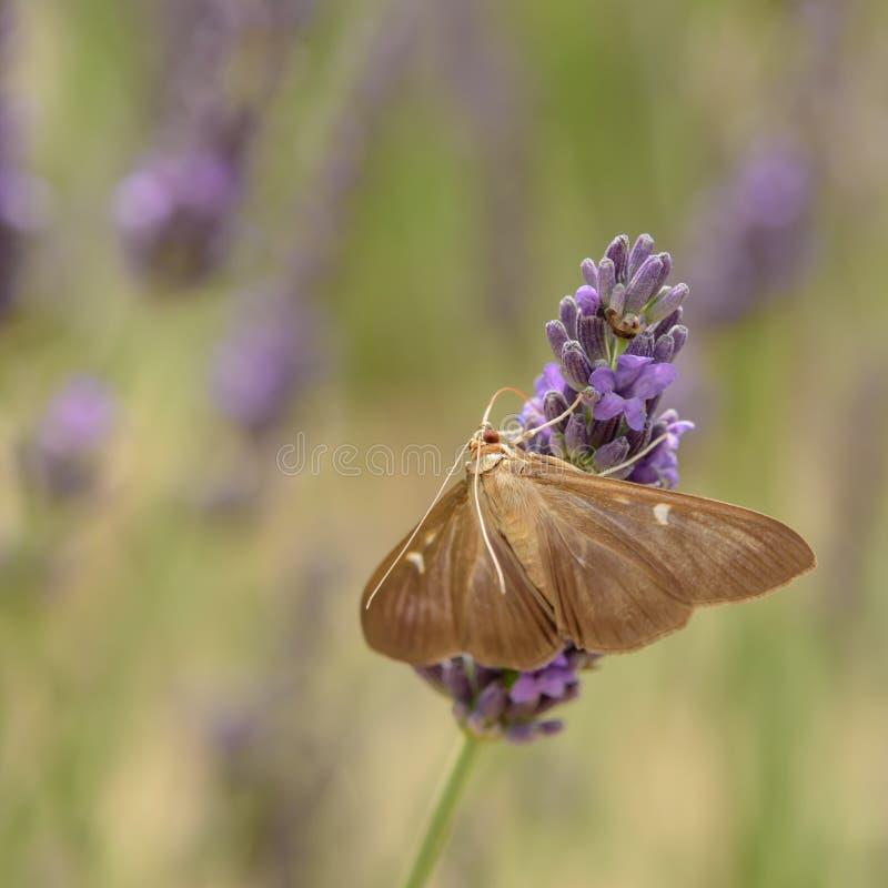 Purple lavender blooms in Provence. Taken in France. Purple lavender blooms in Provence royalty free stock photo