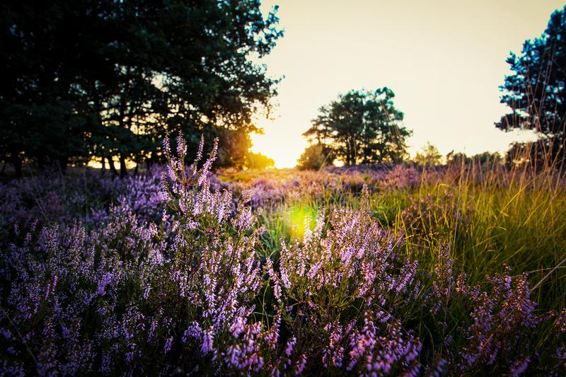Purple Lavender on Field during Sunset royalty free stock images