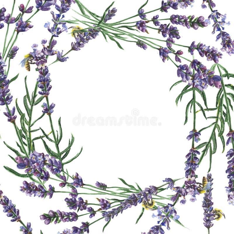 Purple lavender. Floral botanical flower. Frame border ornament square. vector illustration