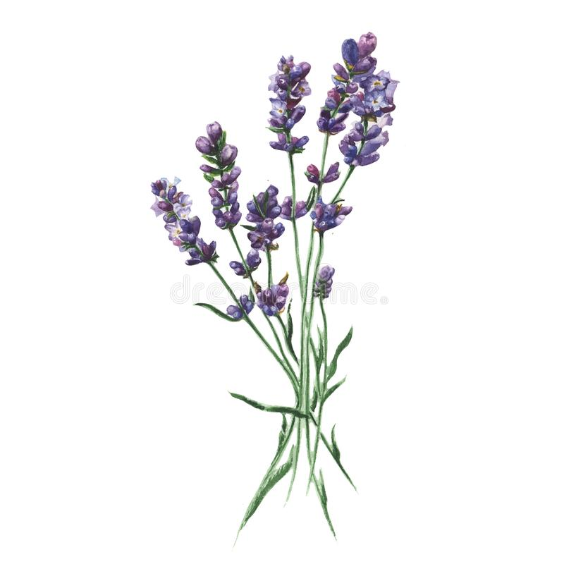 Purple lavender. Floral botanical flower. Isolated illustration element. stock illustration