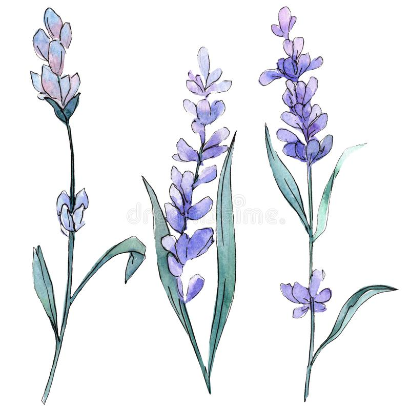 Purple lavender. Floral botanical flower. Wild spring leaf wildflower isolated. Watercolor background illustration set. Purple lavender. Floral botanical flower royalty free illustration