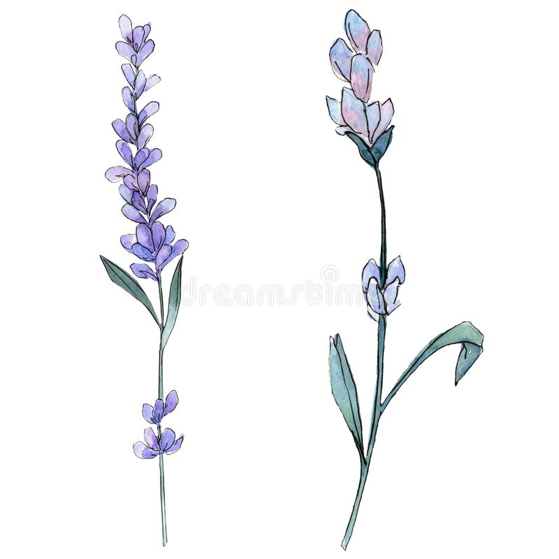 Purple lavender. Floral botanical flower. Wild spring leaf wildflower isolated. Watercolor background illustration set. Purple lavender. Floral botanical flower stock illustration