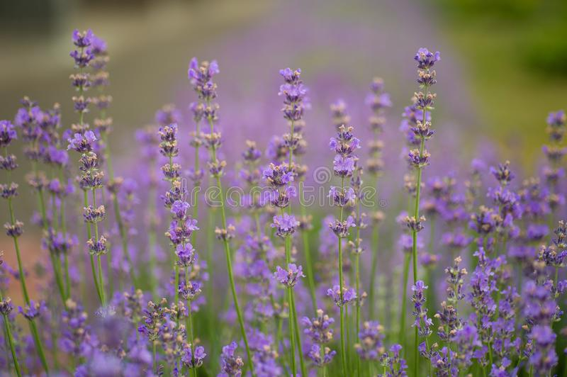 Purple lavender flower blooms in the sun. The Purple lavender flower blooms in the sun royalty free stock photos