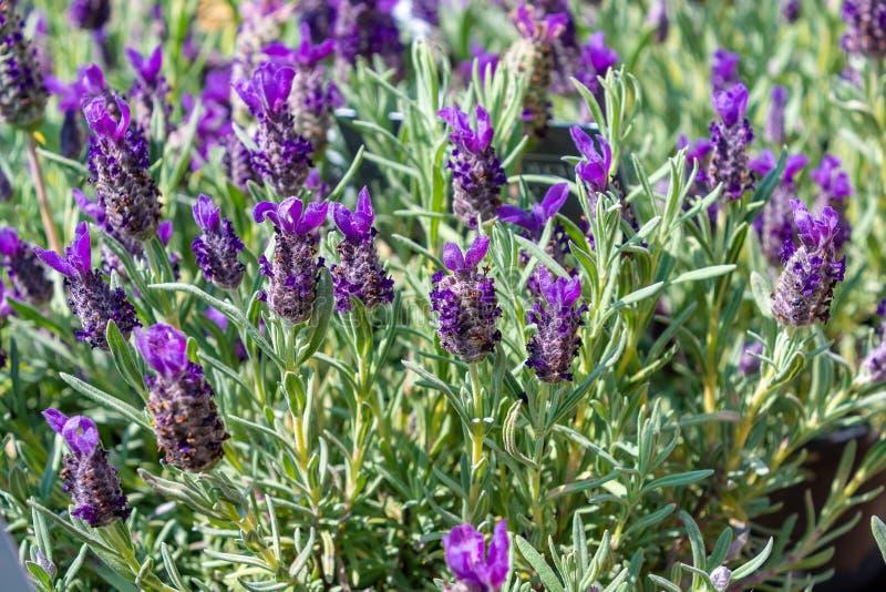 Purple lavender blooms in the sun. Purple lavender flower blooms in the sun stock photo