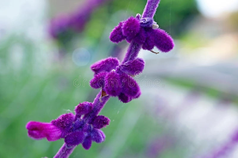 Purple lavender royalty free stock images
