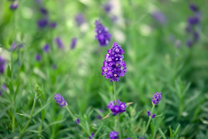 Purple lavender flowers in nature royalty free stock photo