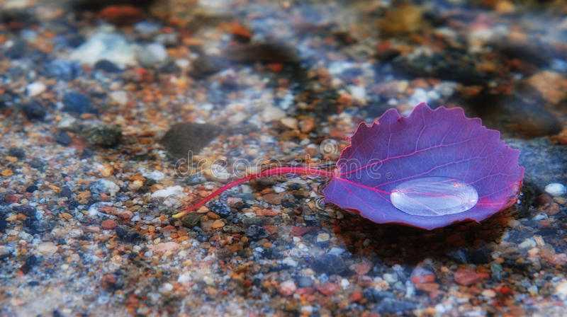 Purple leaf of aspen royalty free stock images