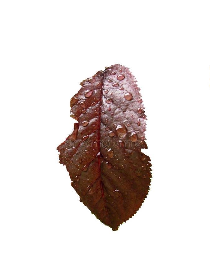Purple leaf with raindrops stock photos
